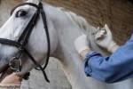 Horse Doping Needleman