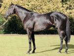 Crusade, horse, stallion