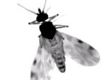 Culicoides midge