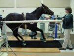 Horse on treadmill