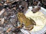 Microbatrachella capensis - the Microfrog (photo: Ismail Wambi)