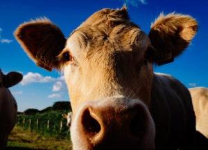 Cow (photo: Tookapic)